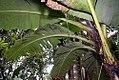 Musa paradisiaca var. sapientum Costa Rica 1zz.jpg