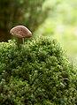 Mushroom Säppi.jpg