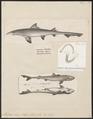 Mustelus laevis - 1700-1880 - Print - Iconographia Zoologica - Special Collections University of Amsterdam - UBA01 IZ14100067.tif