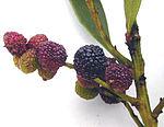 Myrica faya fruit.jpg