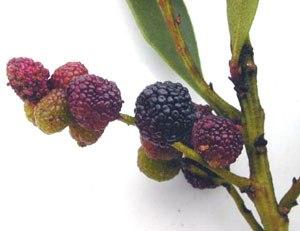 Myrica - Myrica faya fruit