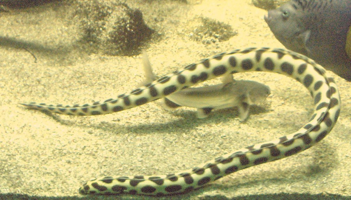 Myrichthys maculosus.JPG