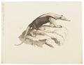 Myrmecophaga tetradactyla - 1700-1880 - Print - Iconographia Zoologica - Special Collections University of Amsterdam - UBA01 IZ21000059.tif