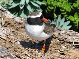 NZ Shore plover male.JPG