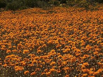 Namaqualand - Namaqualand, Goegap 1033