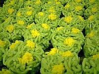 なたねきんとん(菜の花のイメージ) 代表的な春の上菓子