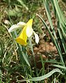 Narcissus pseudonarcissus 200303.jpg