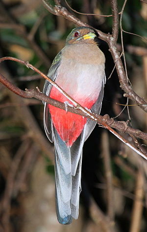 Narina trogon - Female in South Africa