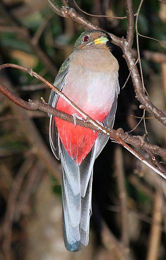 Narina trogon - Female in South Africa