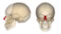 Nasal bone.png