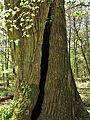 "Naturdenkmal Bracht ""Hohle Eiche"".jpg"