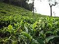 Nature's Tea leaves.jpg