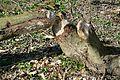 Naturschutzgebiet Haseder Busch - Biberverbiss (5).jpg