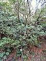 Neolitsea aciculata - Miyajima Natural Botanical Garden - DSC02298.JPG
