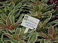 Neoregelia from Lalbagh Flowershow - August 2012 4628.JPG