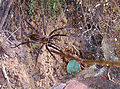 Neotama sp., a Two-tailed Spider (9051554348).jpg