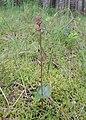 Neottia cordata kz02.jpg