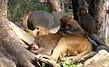 Nepal-rhesus-monkeys.jpg