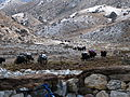 Nepal - Sagamartha Trek - 165 - Yak train to EBC (497677658).jpg