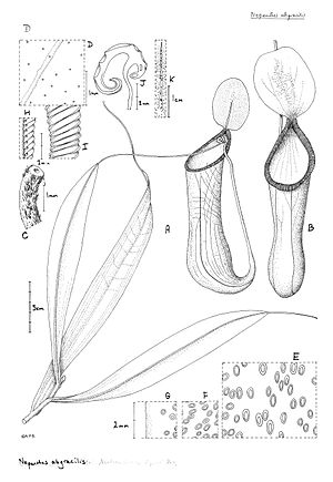 Nepenthes abgracilis - Botanical illustration of N. abgracilis from Cheek and Jebb's type description
