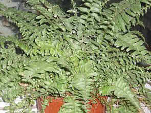 Nephrolepis exaltata – als Zimmerpflanze