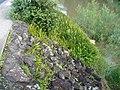 Nephrolepis cordifolia (L.) C.Presl (AM AK297005-2).jpg