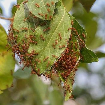 Nest of oecophylla smaragdina (weaver ants)