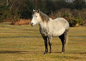 New Forest pony - New Forest pony in winter coat