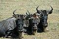 Ngorongoro Wildebeest.jpg