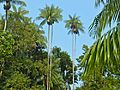 Nibong Palms (Oncospermum sigillarium) (8217765458).jpg