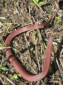 Image Result For Boa Constrictor Color