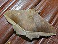 Noctuid Moth (Hulodes caranea) (8405264369).jpg