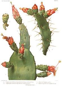 Palmas e flores da O. cochenillifera