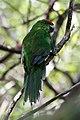 Norfolk Parakeet (Cyanoramphus cookii).jpg