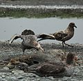 Northern Giant Petrel digs into a seal carcass (5724591957).jpg