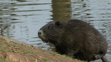 Datei:Nutria population in Weilerswist, Germany.ogv