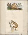 Nycticebus tardigradus - 1700-1880 - Print - Iconographia Zoologica - Special Collections University of Amsterdam - UBA01 IZ19700105.tif
