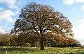 Oak tree in Croxton Park - geograph.org.uk - 608504.jpg