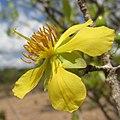Ochna - yellow flower (8320462821).jpg