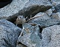 Ochotona princeps pika haying in rocks.jpg