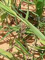 Oedaleus senegalensis L5 brown.jpg