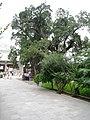 Old trees - panoramio - monicker.jpg