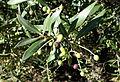 Olea europaea subsp. cuspidata (Olea africana) - Jardín Botánico de Barcelona - Barcelona, Spain - DSC09254.JPG