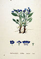 Omphalodes verna — Flora Batava — Volume v20.jpg