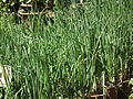 Onion plant from lalbagh 2325.JPG
