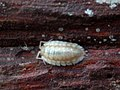Oniscus asellus 105906155.jpg
