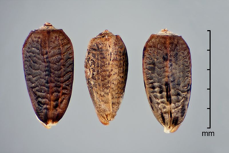 File:Onopordum acanthium-Fruits-001.jpg