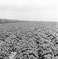 Ontginning, zaaien en oogsten gewassen, beregening, nop, Bestanddeelnr 160-0225.jpg