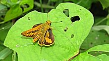 Open wing position of Telicota colon Fabricius, 1775 – Pale Palm-Dart.jpg