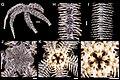 Ophiothrix (Ophiothrix) spiculata (zookeys.406.6306) 01.jpg